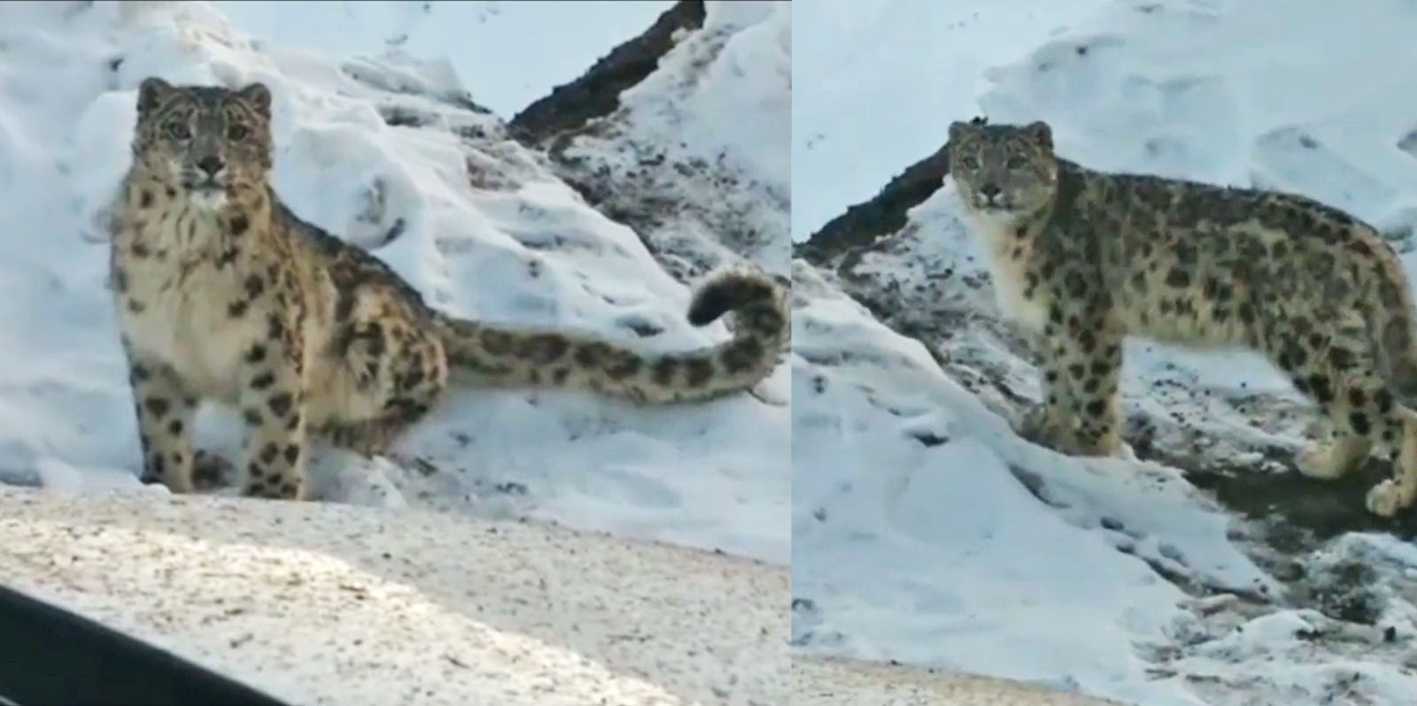 viral Snow Leopard video spiti