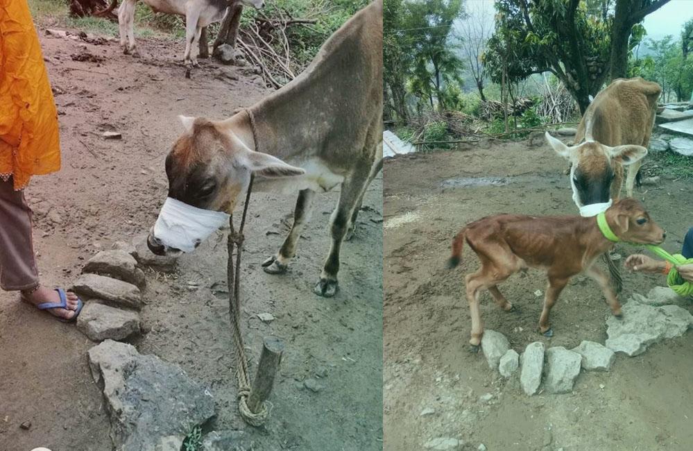 Himachal Pradesh Cow's jaw blown off