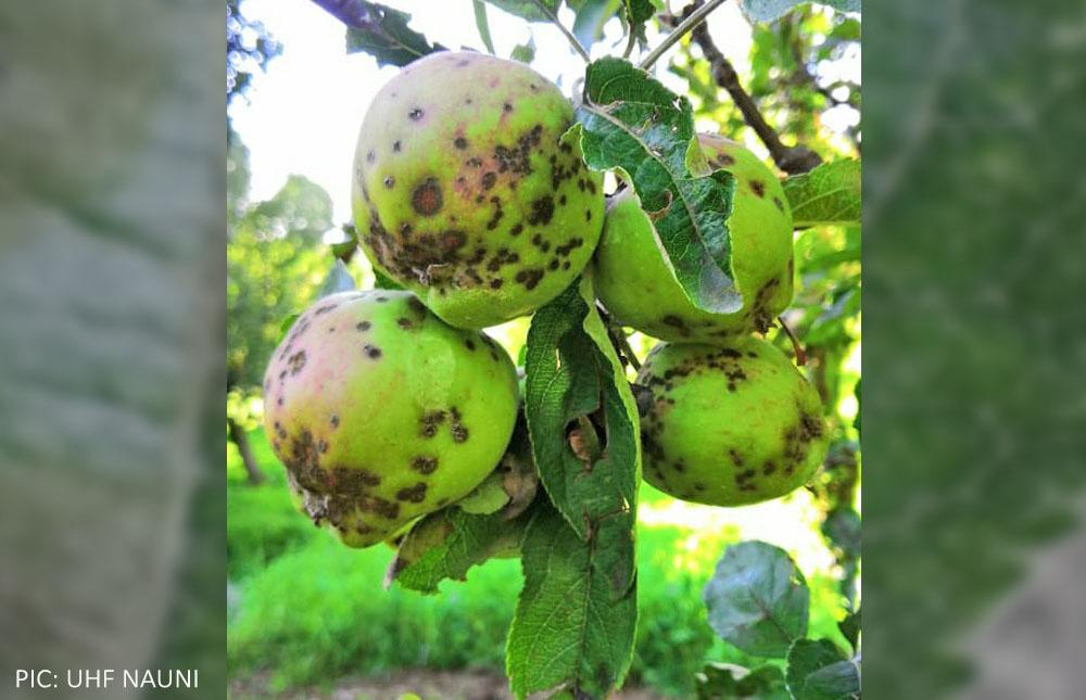 Himachal Pradesh apple scab photos 2