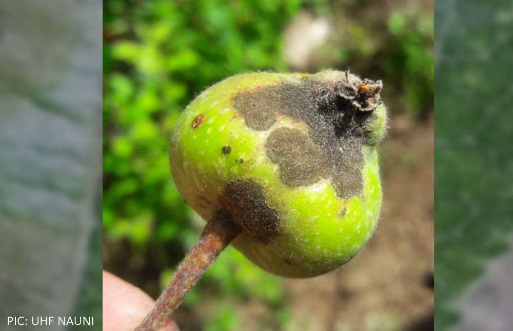 Himachal Pradesh apple scab photos 3