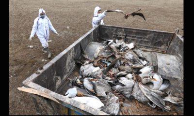 Bird flu in himachal pradesh