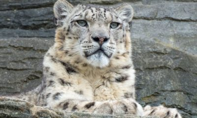 Snow Leopard Population Assessment in Himachal Pradesh