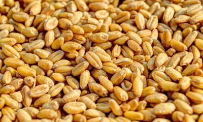 Wheat Seed Production in Himachal Pradesh 2021-22