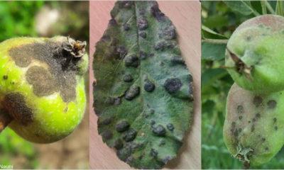 saving apple crops from diseases